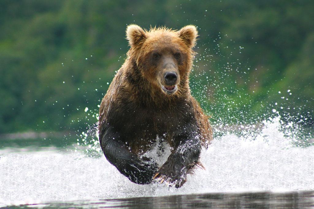 101-Orso-bruno-insegue-un-salmone-nella-acque-del-lago-Kurilskoye.-1024x683